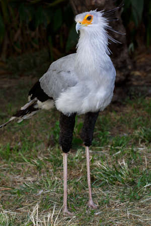 curved leg: Secretary Bird of Prey with long legs and pretty feathers