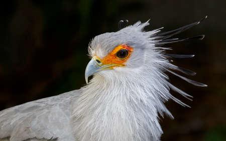 Portret van een secretaris Bird of Prey met oranje gezicht en prachtige kuif veren Stockfoto