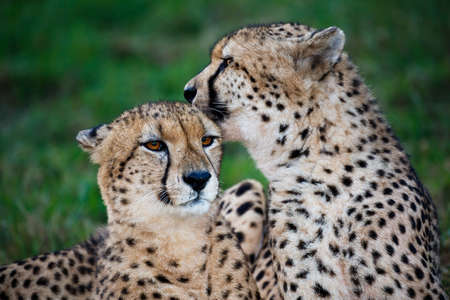 cat grooming: Cheetah wild cat pair grooming and licking each other