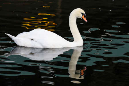 refelction: White swan swimming on water with reflection