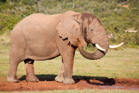 cool down: Large male African elephant spraying muddy water onto itself to cool down