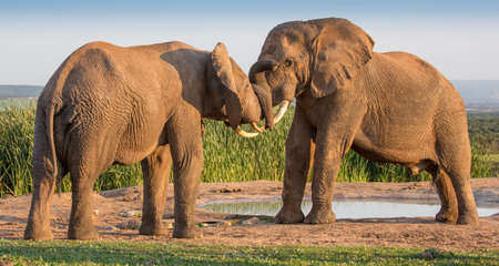shove: Two large male  elephants greeting each other with trunks touching