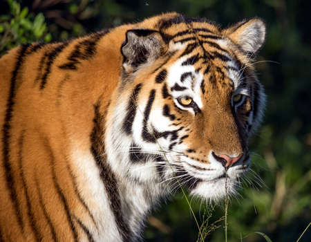 whiskers: Beautiful big  tiger wild cat with striped fur and long whiskers