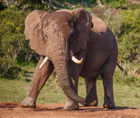 curved leg: Male African Elephant with Large Tusks in an aggressive stance