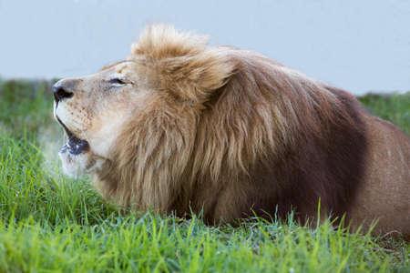 大きな雄ライオン轟音の口出てくる熱風で