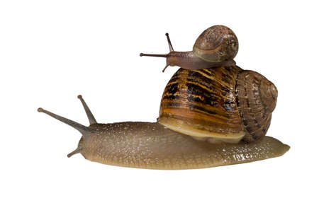 bigger: Small snail hitching a ride on thae back of a bigger snails shell Stock Photo