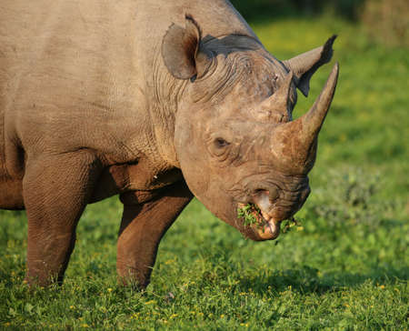 hooked: Wild Black Rhino with hooked lip eating lush grass in South Africa