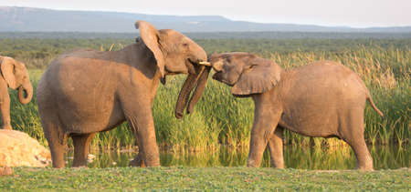 greet eyes: Two young elephants greeting each other with trunks touching