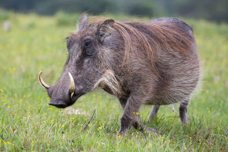 tusks: Large warthog with tusks and coarse shaggy hair
