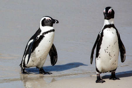 penguins on beach: African Penguins on the sandy beach in South Africa Stock Photo