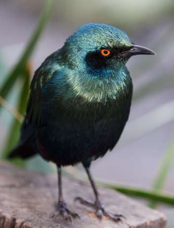 irridescent: Glossy Starling Bird with staring yellow eyes and beautiful irridescent feathers