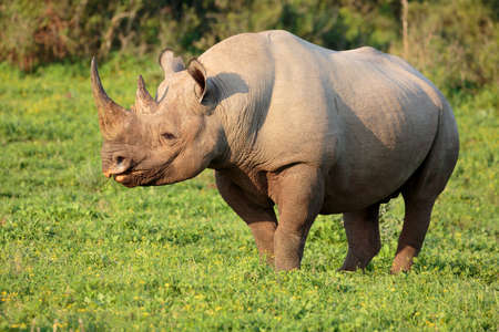 Wild Black Rhino with hooked lip in South Africa