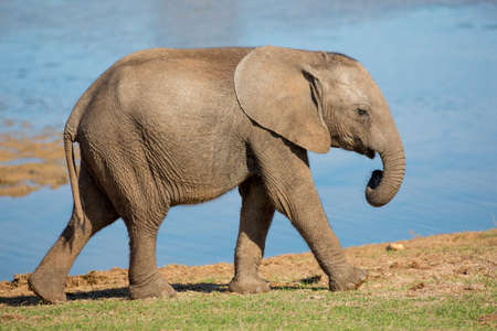 Young African elephant striding past a water dam