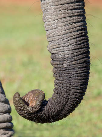 curled lip: Close up of an African elephant trunk showing its prehensile tip