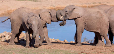 Friendly African elephants greeting at the water hole Stock Photo