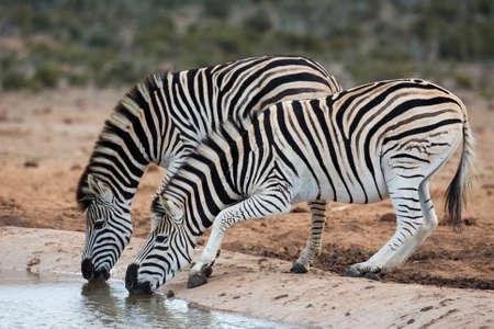 waterhole: Two nervous plains zebras drinking from a waterhole