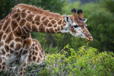 snacking: Giraffe with long neck snacking on green leaves