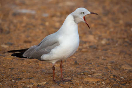 Beautiful Grey Headed Seagull with beak wide open and calling Stock Photo