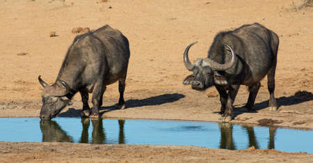 thirst quenching: Two Cape Buffalo bulls quenching their thirst at a waterhole in Africa