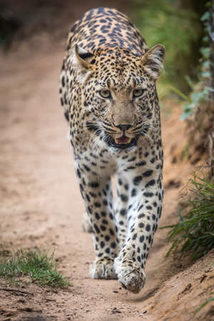 Beautiful leopard with spotted fur walking in South Africa Stock Photo