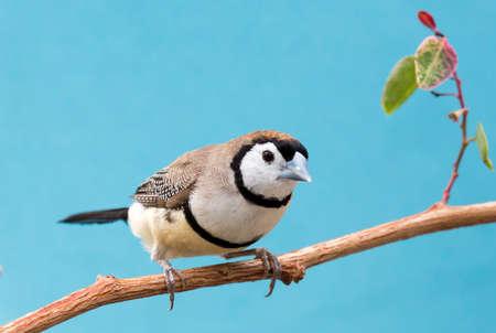 Beautiful owl finch bird from Australia