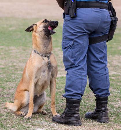 handlers: Obedient police dog sitting at his handlers feet