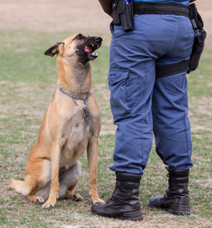 german handgun: Obedient police dog sitting at his handlers feet