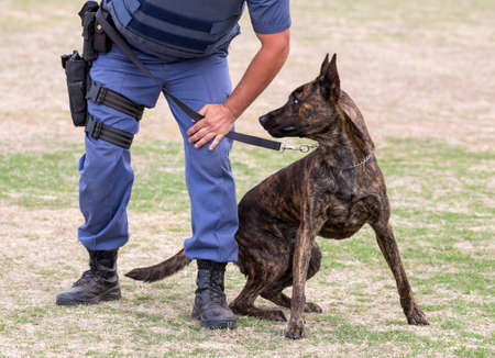 german handgun: Alert police dog restrained by its handler Stock Photo