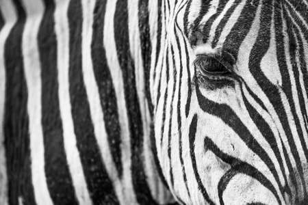 close uo: Close uo of a zebra showing black and white pattern and eye Stock Photo