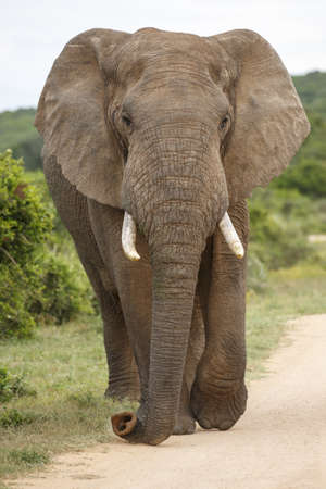 animal ear: Large African Elephant with long trunk and big ears