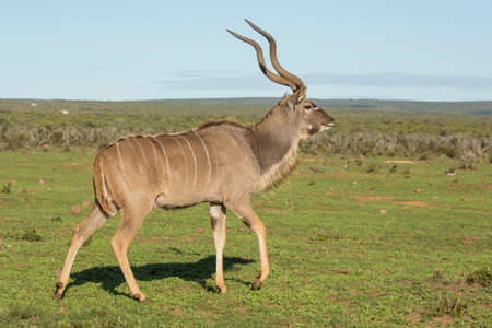 Large male kudu antelope striding across the open African plains