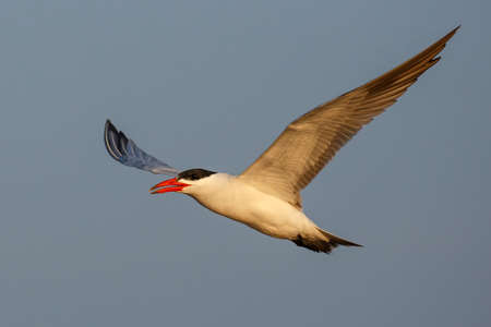 A beautiful Caspian tern flying effortlessly in the blue sky Stock Photo
