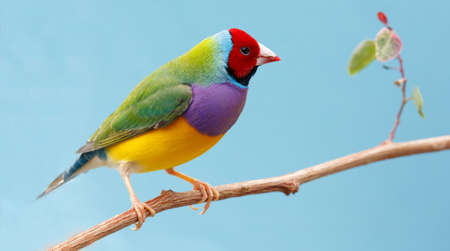 Beautiful multi colored Gouldian finch bird from Australia 스톡 콘텐츠