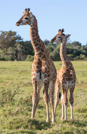 Two young giraffe with long necks and legs