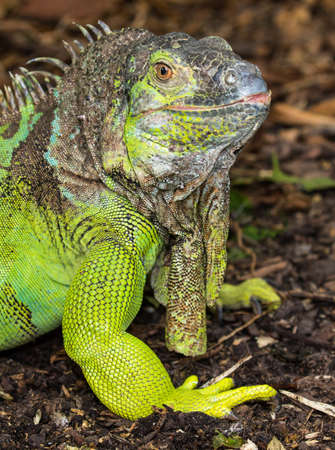 Green Iguana reptile with delicately detailed skin Stock Photo