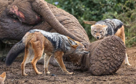 Two black backed jackals feeding on the carcass of a dead elephant Reklamní fotografie