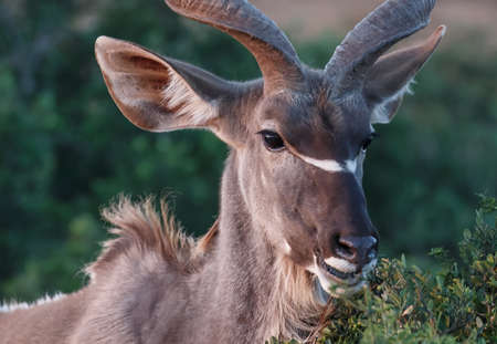 Male Kudu antelope with huge ears feeding on leaves Reklamní fotografie