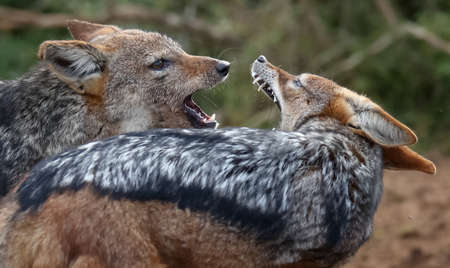 Two black backed jackals fighting and snarling at each other Reklamní fotografie