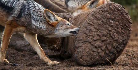 Black backed jackal biting at the carcass of a dead elephant