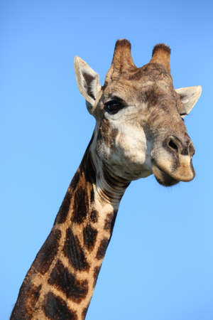 Portrait of a giraffe with long neck and pointed horns