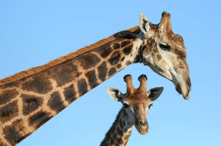 Portrait of two giraffes with long necks and pointed horns