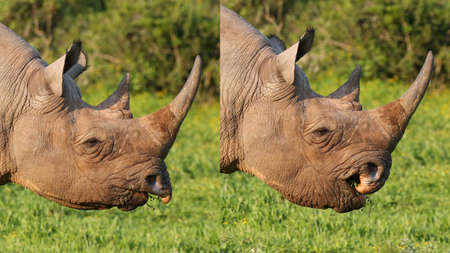Wild Black Rhino Composite showing Prehensile Lip in Action