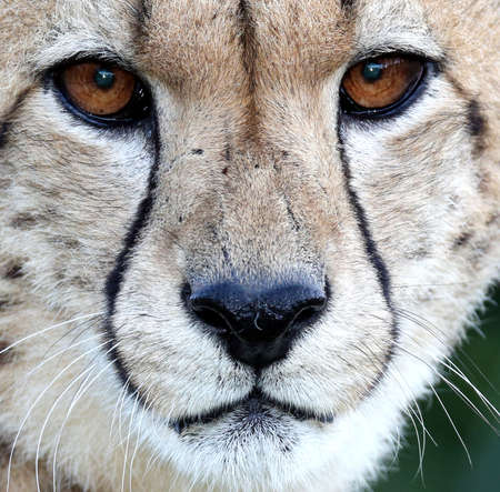 Close up of a Cheetah wild cat with beautiful big brown eyes and black nose Reklamní fotografie