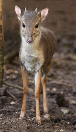 The cute and very shy Blue Duiker antelope in the undergrowth of the forest Reklamní fotografie