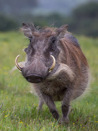 Large warthog with tusks and coarse shaggy hair