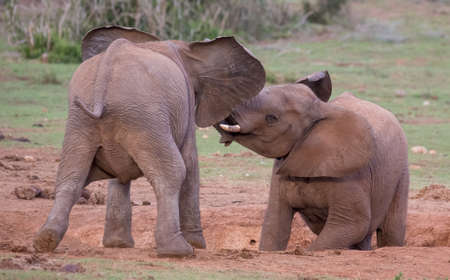 Two excited young elephants greeting each other with trunks intertwined