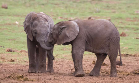 Two young elephants greeting each other with trunks intertwined