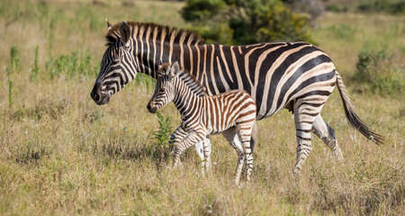 Burchell or Plains Zebra Mom and Foal