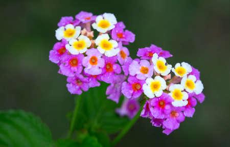 Beautiful Mauve and Yellow Lantana Camara Flowers find in Jamaica
