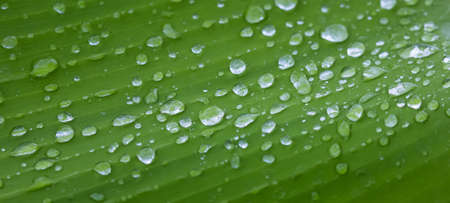 Fresh Water droplets on Green Leaf in the Tropics